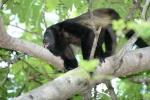 Howler Monkey. Credit: ISA/ Michael Tweddle
